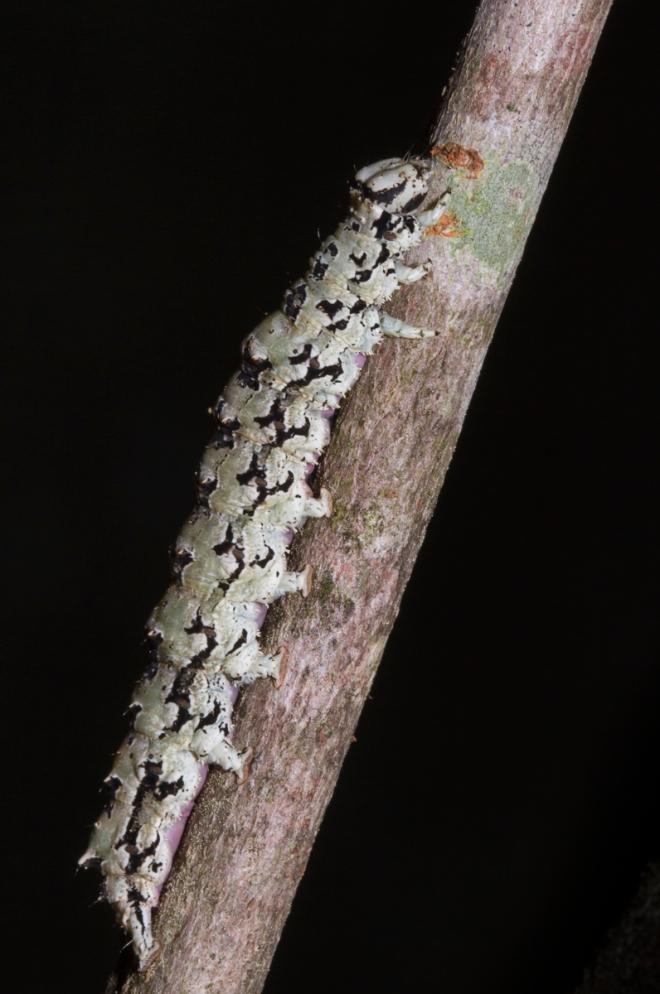 Ilia Underwing larva on twig