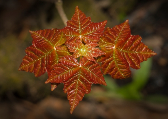 Maple leaves opening