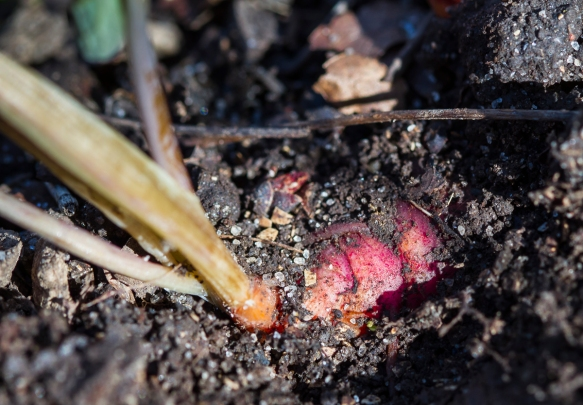 Red root of Bloodroot