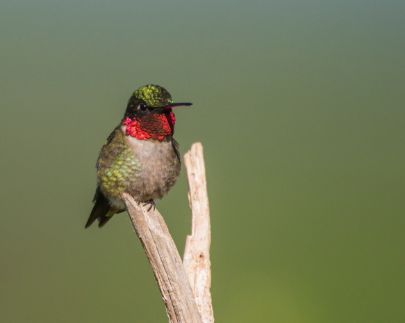 Ruby-throated Hummingbird male showing red 1