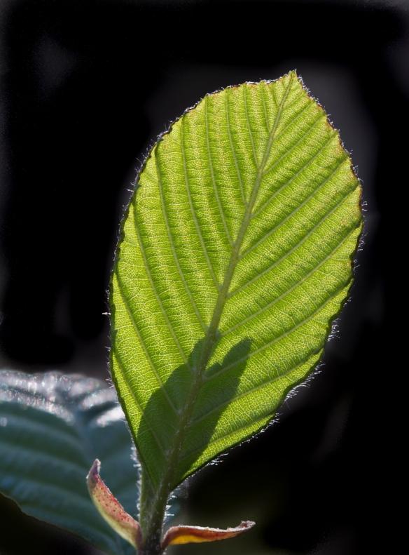Tag Alder leaf backlit in the setting sun
