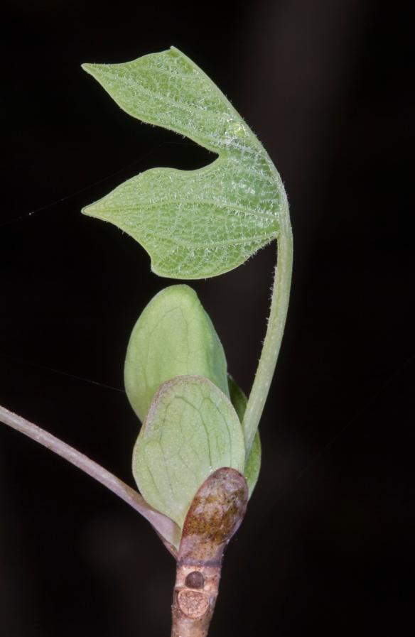 Tuli[p Poplar leaf unfurling