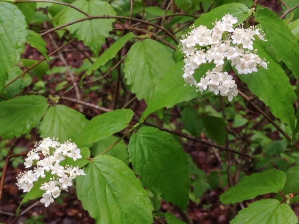 Viburnum rafinesquianum downy arrowwood