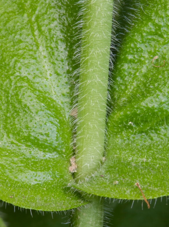Wild Comfrey clasping stem leaves