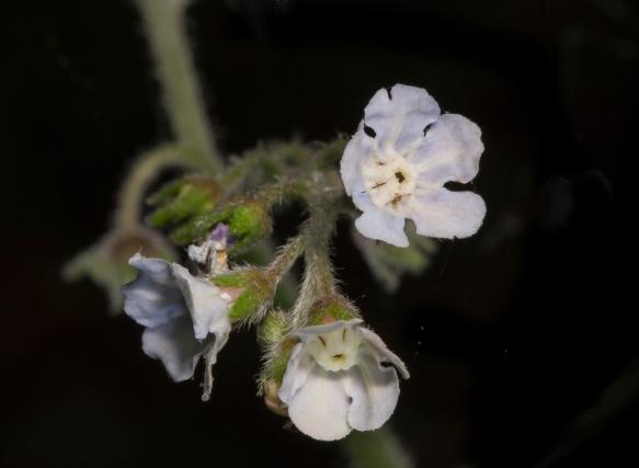 Wild Comfrey flowers pale