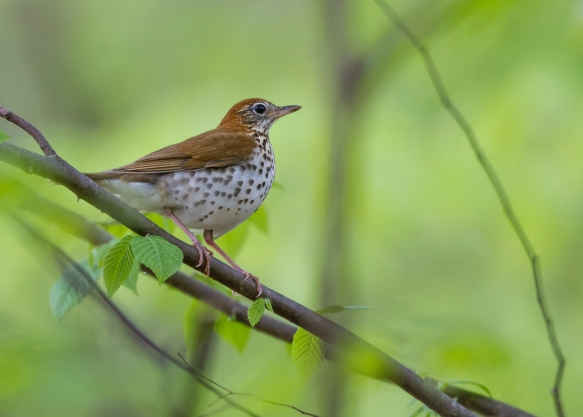 Wood Thrush in shade