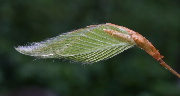 Beech leaf out