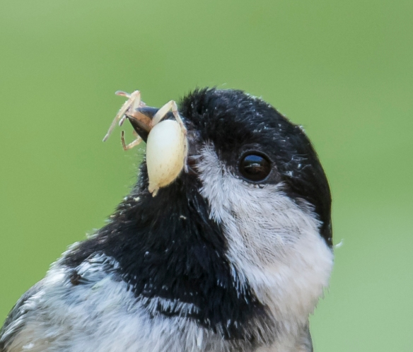 Chickadee bringing food to nest - spider 2