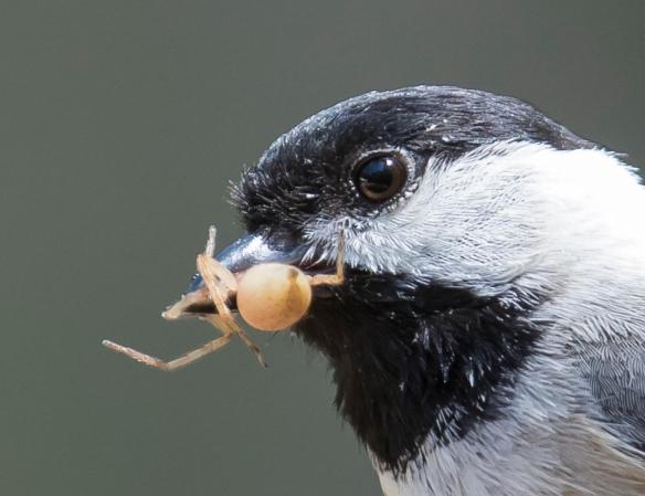Chickadee bringing food to nest - spider 4
