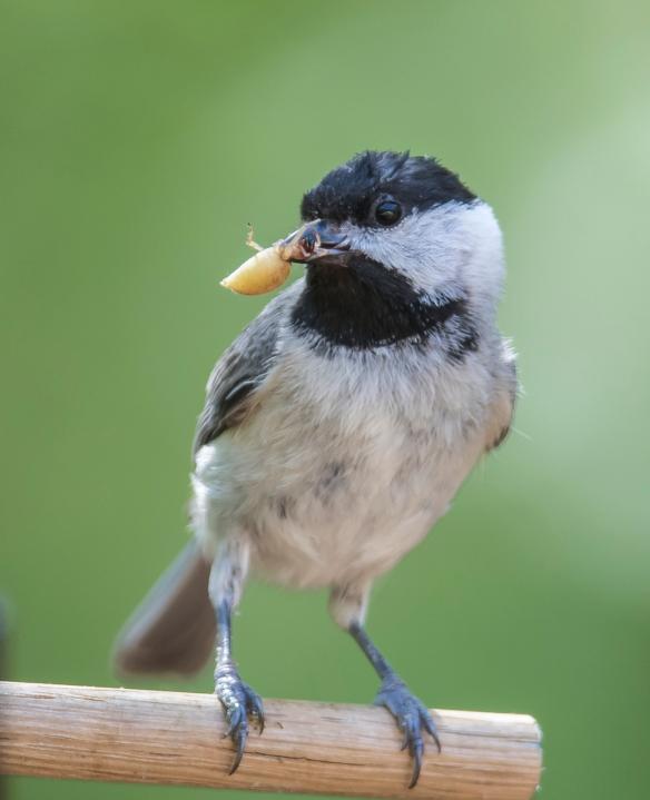Chickadee bringing food to nest - spider