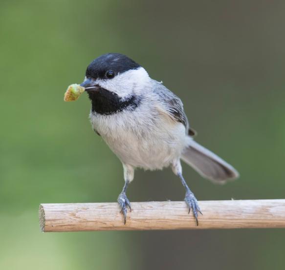 Chickadee bringing food to nest
