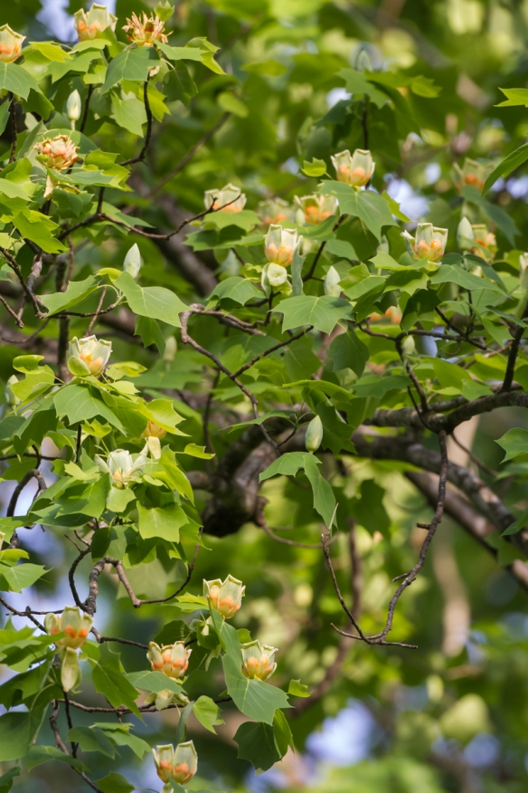 Flowres on Tulip Poplar branch