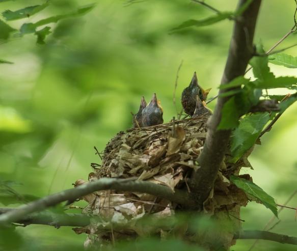 Four nestlings