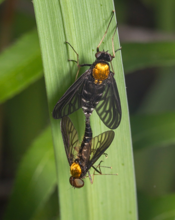 Golden-backed Snipe Flies mating on iris leaf