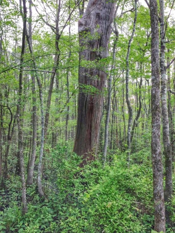 Large cypress nect to platform