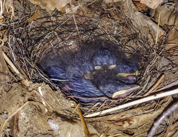 Louisiana Waterthrush nestlings