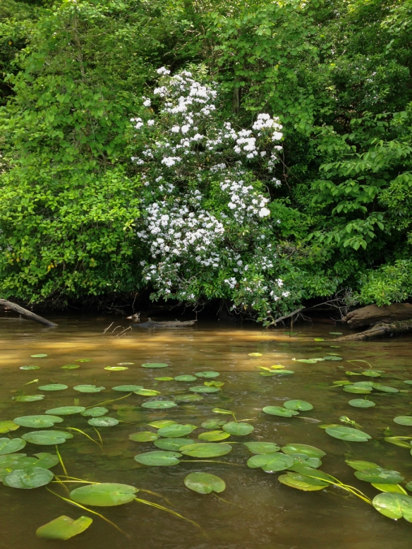 Moutain Laurel and lily pads along the Roanoke