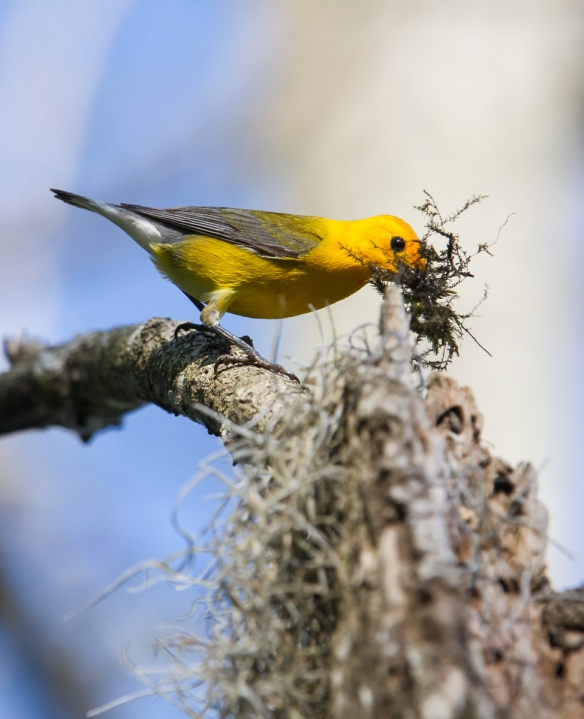 Prothonotary Warbler bringing moss to nest cavity 1