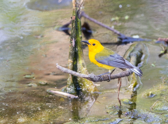 Prothonotary Warbler in threat display to other male