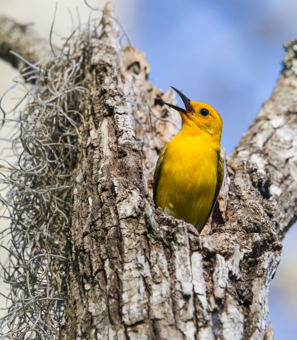 Prothonotary Warbler singing at nest cavity