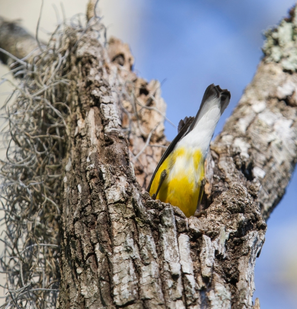 Prothonotary Warbler stuffing moss into nest cavity