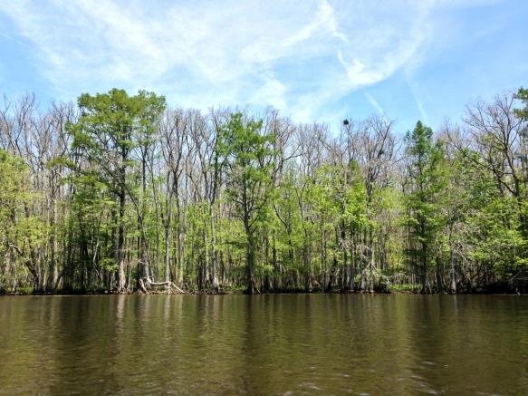 Roanoke shoreline showing defoliated trees