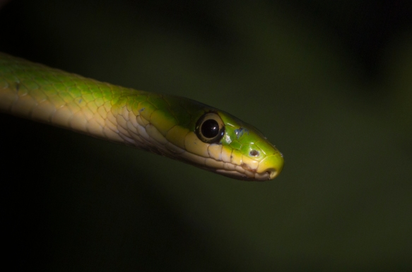 Rough Green Snake 1