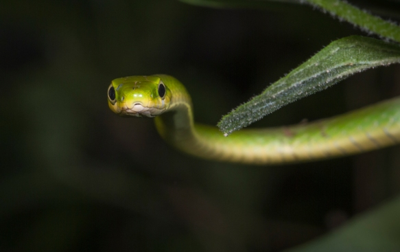Rough Green Snake 2