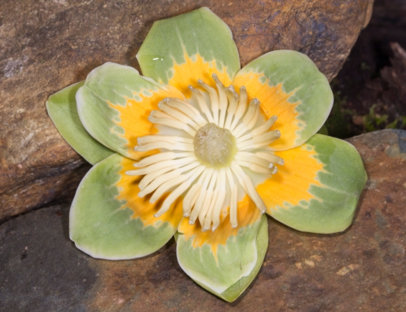 Tulip Poplar flower 2