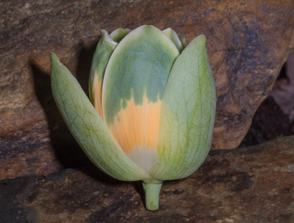 Tulip Poplar flower on ground