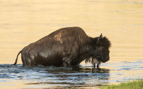 Bison coming out of river