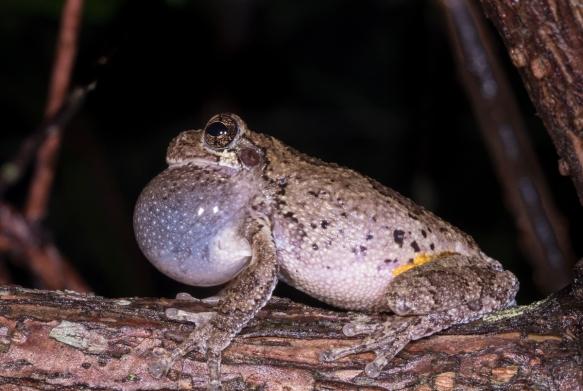 Cope's Gray Treefrog calling
