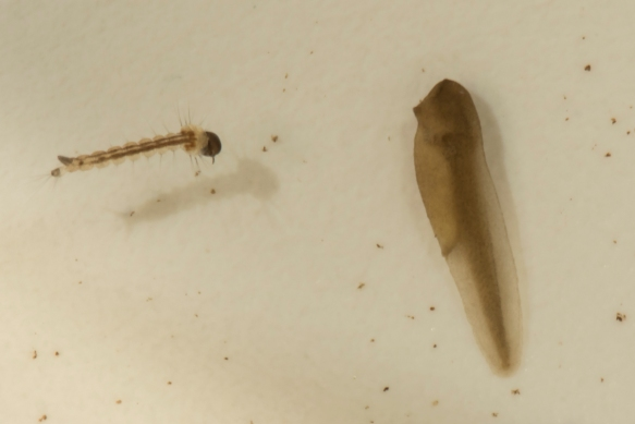Cope's Gray Treefrog tadpole and mosquito larvaa