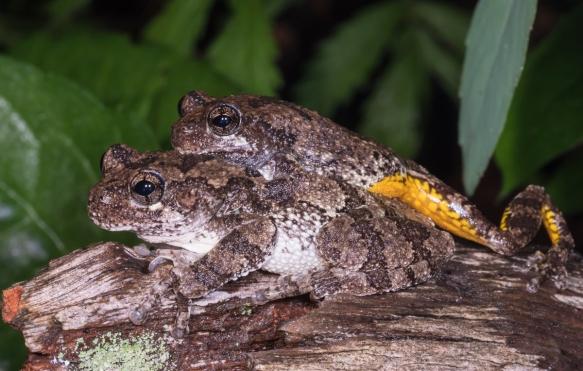 Cope's Gray Treefrogs in amplexus