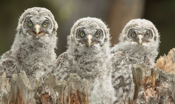 Great Gray Owl chicks before fledging