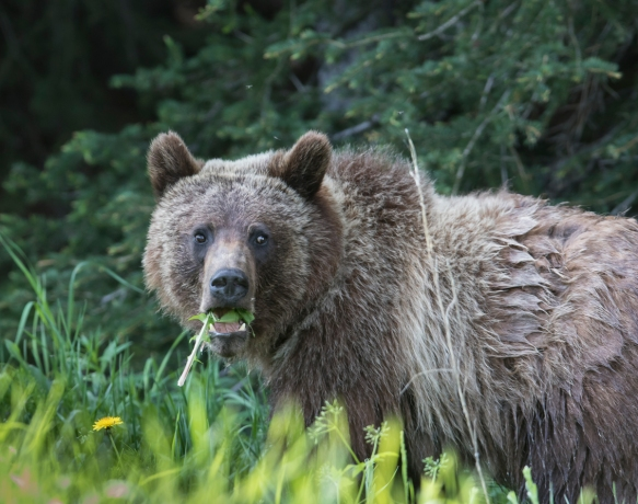 Grizzly eating dandelion 1
