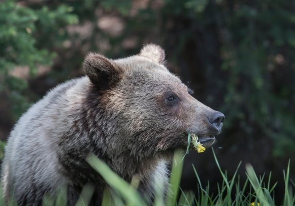 Grizzly eating dandelion 2