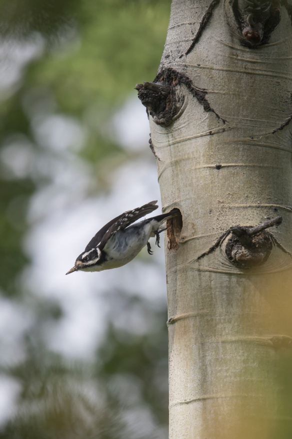 Hairy Woodpecker leaving nest