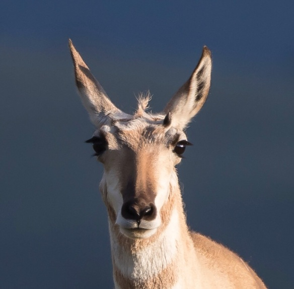 Pronghorn Antelope face