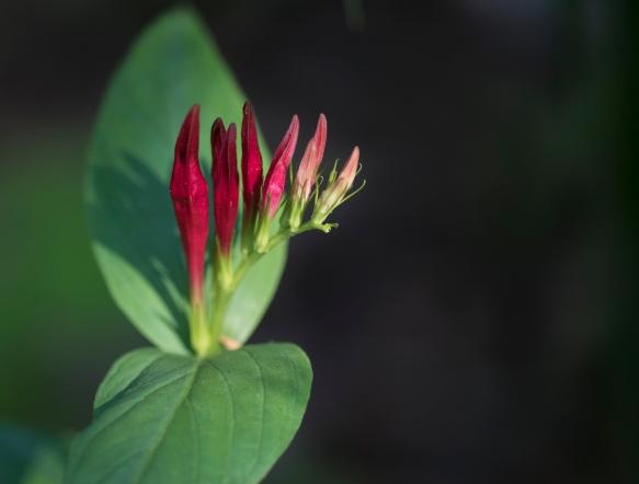 Spigelia flower buds