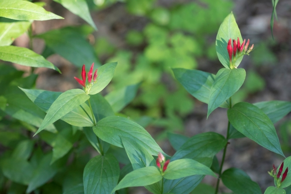 Spigelia offers a dash of color this time of year