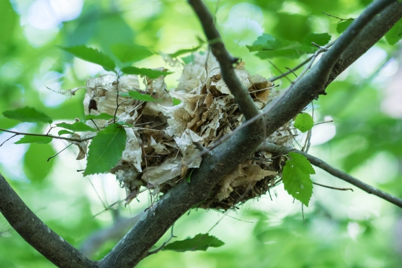 Wood Thrush nest after predation