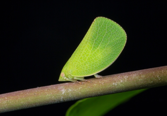 Acanalonia conica planthopper