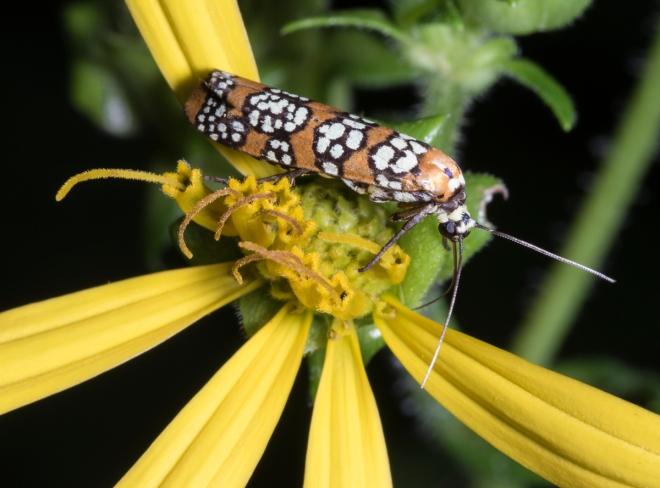 Ailanthus Webworm Moth, Atteva aurea 1