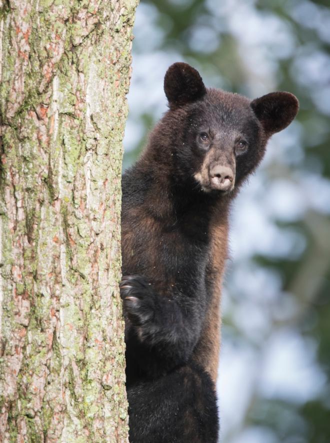 bear coming down tree