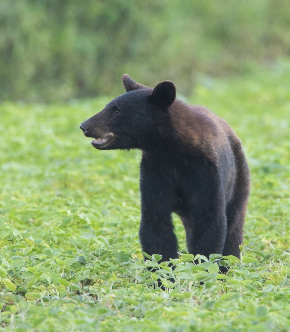 bear in bean field 1