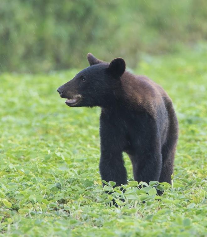 bear in bean field 1