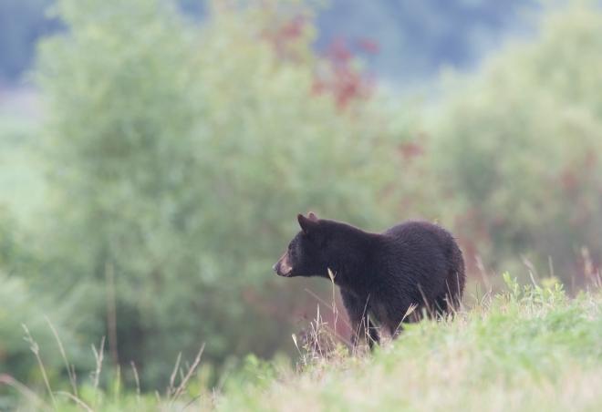 bear watching other bear