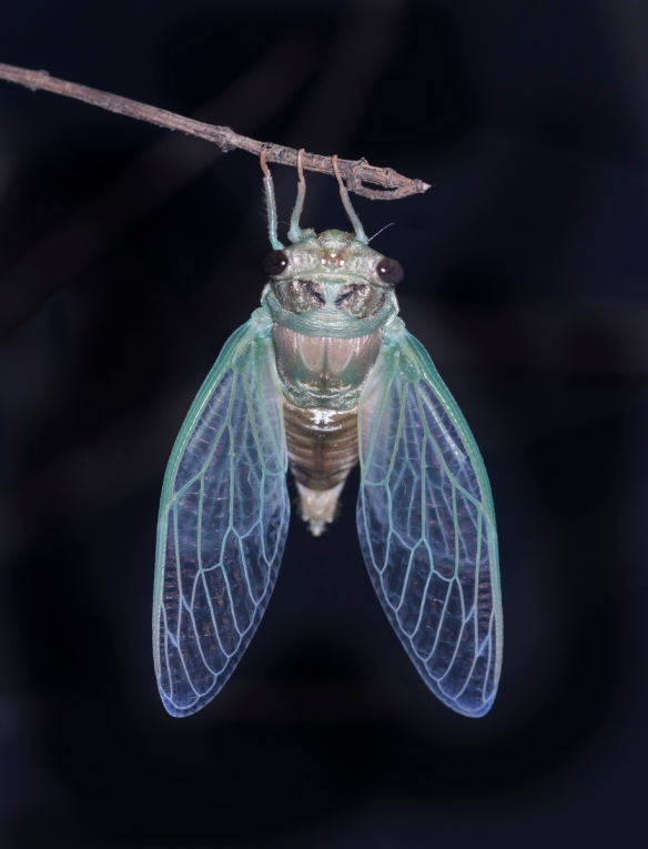 Cicada escapes
