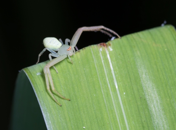 Crab Spider -  Misumessus